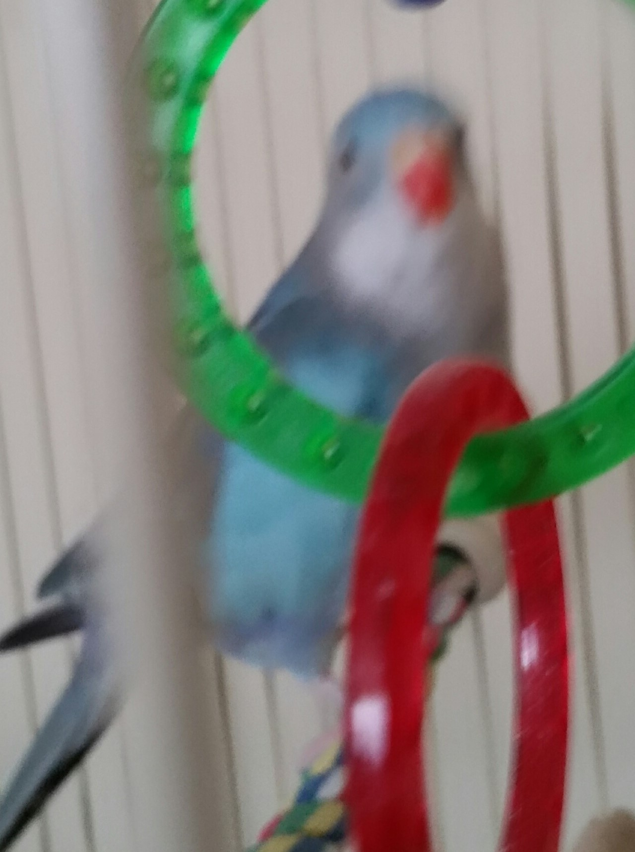 parakeet princess of wales